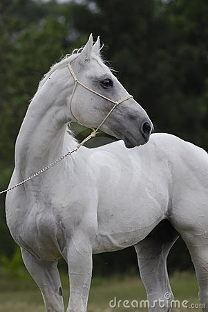 Silver white hannover