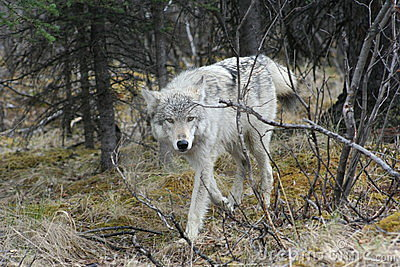 Wolf RP