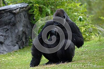 Silverback gorilla 02