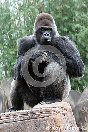 Free Silverback Gorilla Royalty Free Stock Image - 526496