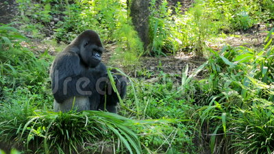 Silverback Gorilla Eating Leaves video d archivio