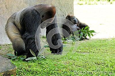 Silverback Gorilla & Female