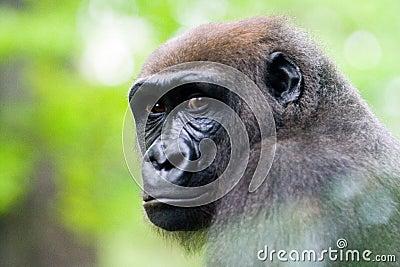 A Silverback Gorilla s face.