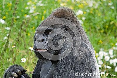 Silverback Gorilla sideways look