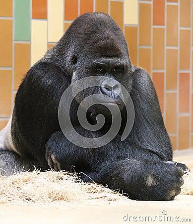 Silverback gorilla thinking