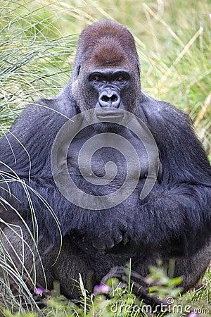 Silverback Western Lowland Gorilla