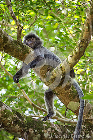 Free Silvered Leaf Langur Monkey In Bako National Park, Stock Photos - 76763303