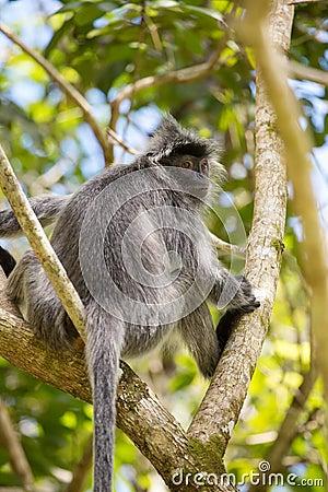 Free Silvered Leaf Langur Monkey In Bako National Park Royalty Free Stock Image - 86238926