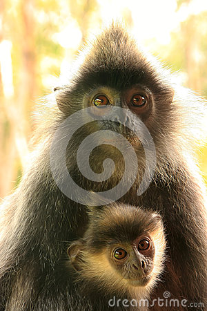 Free Silvered Leaf Monkey With A Baby, Borneo Stock Photo - 39611080