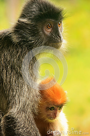 Free Silvered Leaf Monkey With A Young Baby, Borneo, Malaysia Royalty Free Stock Image - 39609636