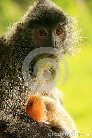 Free Silvered Leaf Monkey With A Young Baby, Borneo, Malaysia Stock Image - 39609781