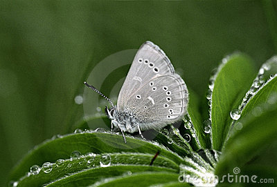 Silvery Blue Butterfly Closeup Lupine Leaf