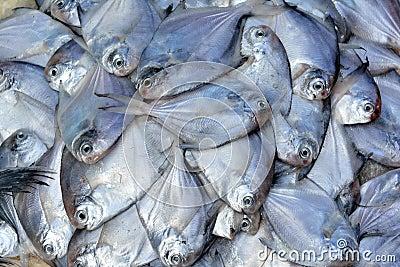 Silvery pomfret fish