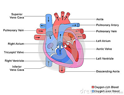 Simplified Structure Of Heart Stock Images - Image: 36544054