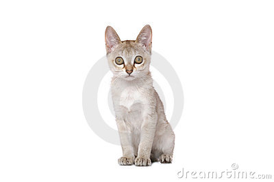 Singapura kitten