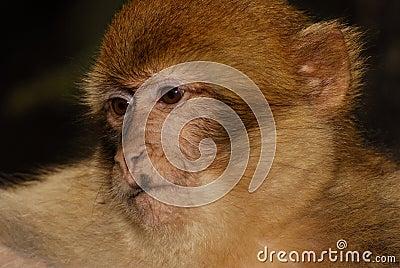 Singe de Barbarie (sylvanus de Macaca) en bois de cèdre près
