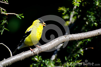 Singing American Goldfinch