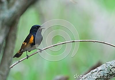 Singing American Redstart