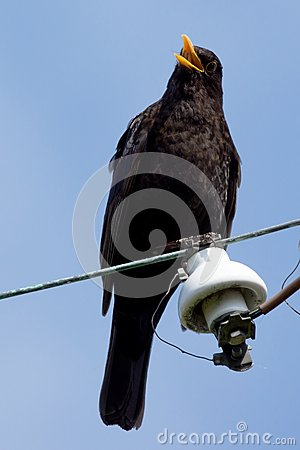 Free Singing Blackbird Stock Image - 25104231
