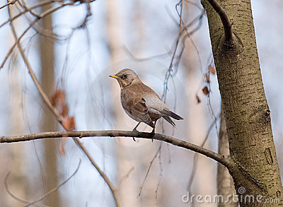 Singing fieldfare in spring