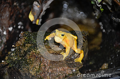 Singing panamanian golden frog