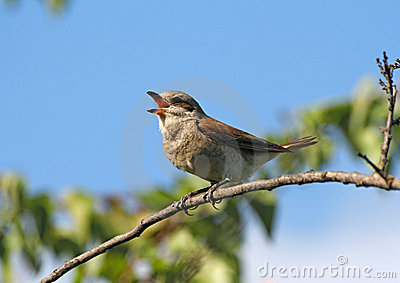 Singing red-backed shrike (female)