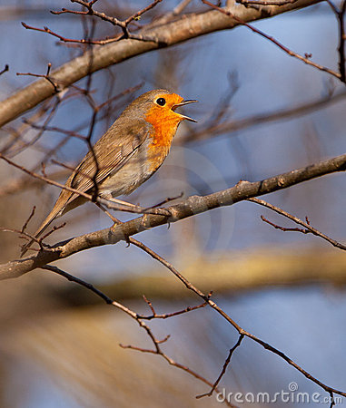 A singing Robin