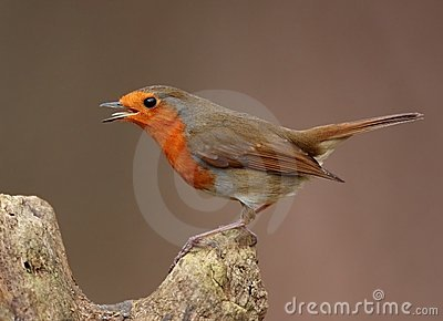 Singing Robin bird
