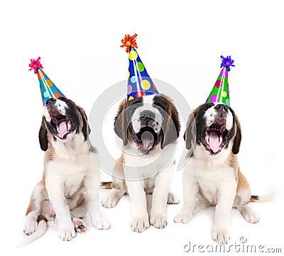 Singing Saint Bernard puppies with birthday