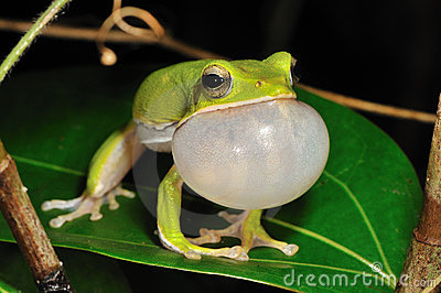 Singing Treefrog