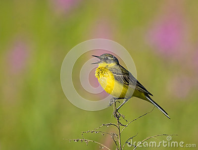 Singing Western Yellow Wagtail