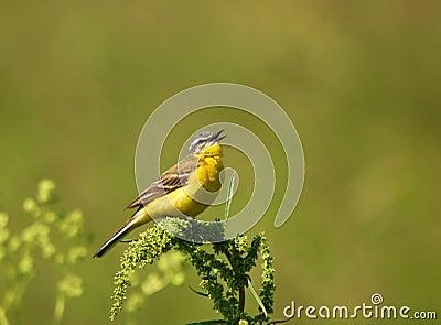 Singing Yellow Wagtail