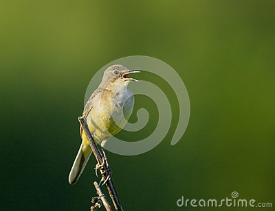 Singing Yellow Wagtail on branch
