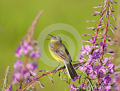 Singing Yellow Wagtail on Fireweed flower