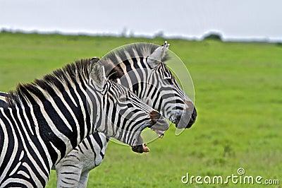 Singing Zebra Zebra Yelling