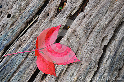 Single autumn red maple leaf on old tree stump