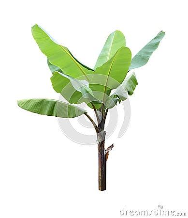 Free Single Banana Plant On White Background Stock Image - 132514911