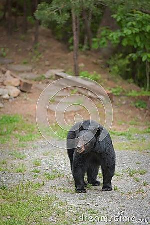 Single bear walking on a path