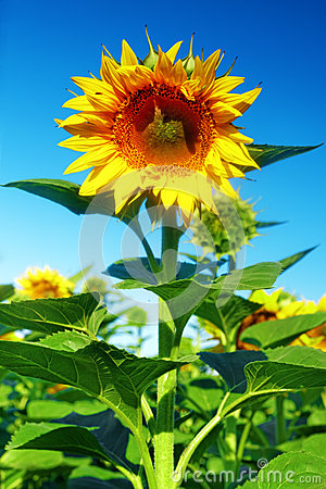 Free Single Beautiful Sunflower In The Summer Field Stock Photography - 31821292
