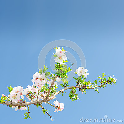 Free Single Blooming Branch Of Apple Tree Against Spring Blue Sky Royalty Free Stock Image - 38401656