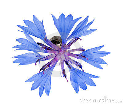 Single blue chicory flower isolated on white