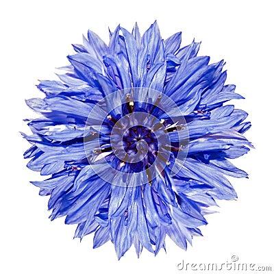Free Single Blue Cornflower Centaurea Cyanus Isolated Royalty Free Stock Images - 16379919