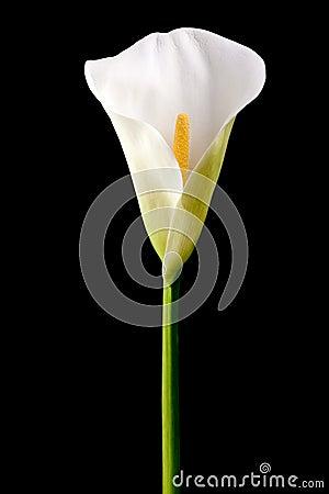 Single calla lily