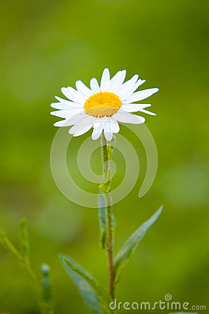 Single camomile