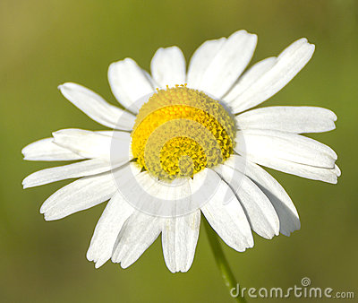 Single camomile flower