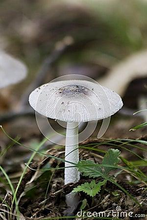 Free Single Centered Mushroom Royalty Free Stock Images - 3162709