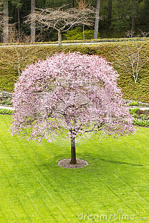 Single Cherry Tree in Green Yard