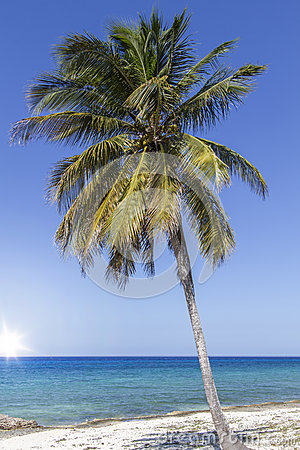 Single coconut palm tree