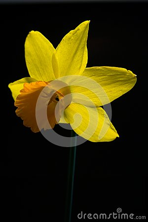 Single Daffodil on Black