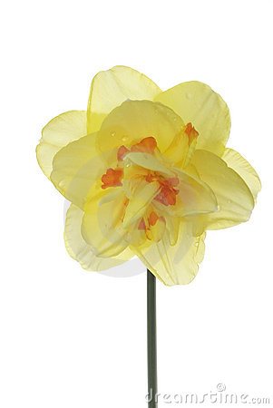 Single daffodil isolated 2